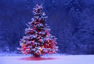 Живая новогодняя ель для дачного участка