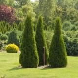 Хвойные деревья на приусадебном участке