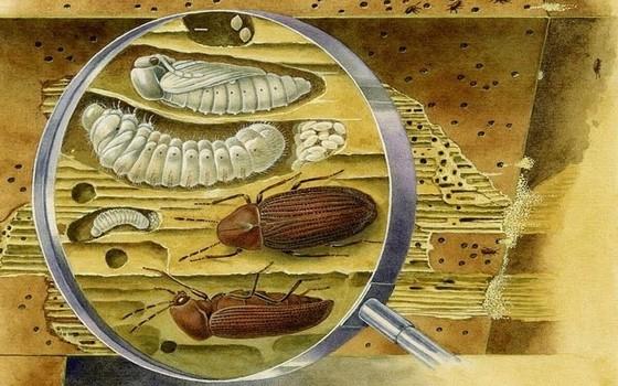 Вредители древесины: обнаружение и борьба